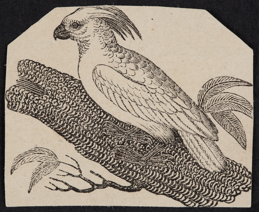 Engraving of a cockatoo sitting on a tree branch, location unknown, undated