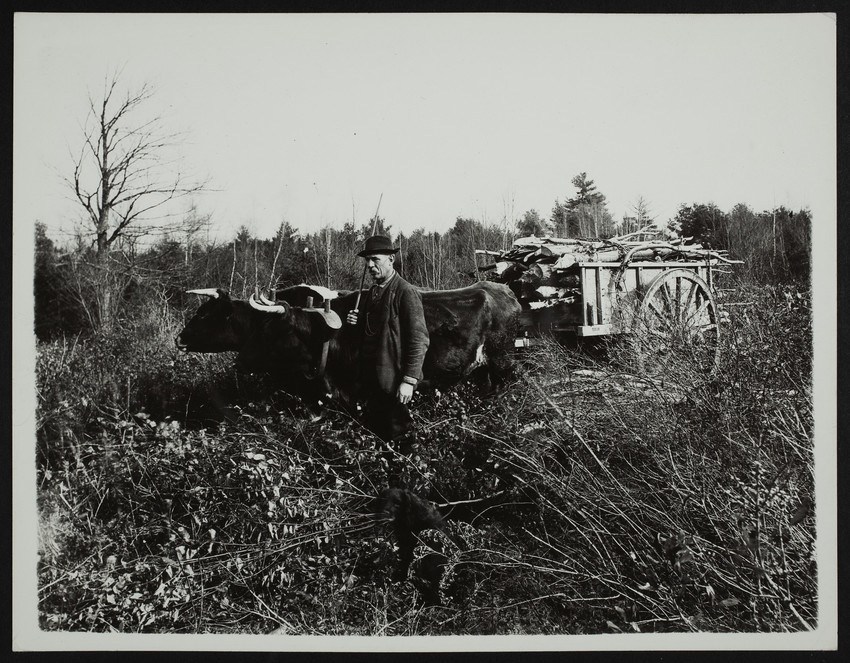 Ox team in the woods, Groundnut Hill, Cape Neddick, Maine